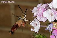 0903-0805  Flying Hummingbird Clearwing Moth Feeding on Nectar, Hemaris thysbe © David Kuhn/Dwight Kuhn Photography.