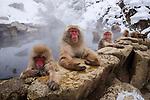 Japanese macaques, Nagano, Japan