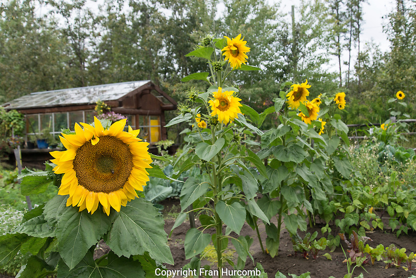 Sunflowers at Belle Rock