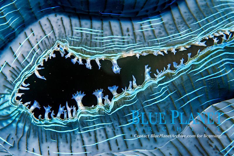 giant clam, Tridacna gigas, inhalent siphon detail, Hibernia Reef, Kimberley, West Australia