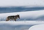 Montana and Wyoming Coyote Photos