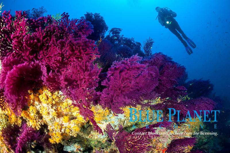 violescent sea whip, or red sea fan, Paramuricea clavata, yellow cluster anemones, Parazoanthus axinellae, and scuba diver, Wall of Bisevo, Vis Island, Croatia, Adriatic Sea, Mediterranean Sea, Atlantic Ocean