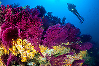 violescent sea whip, or red sea fan, Paramuricea clavata, yellow cluster anemones, Parazoanthus axinellae, and scuba diver, Wall of Bisevo, Vis Island, Croatia, Adriatic Sea, Mediterranean Sea, Atlantic Ocean