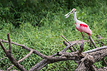 Damon, Texas; a roseate spoonbill standing on a dead tree branch at the edge of the slough in late afternoon shaded light
