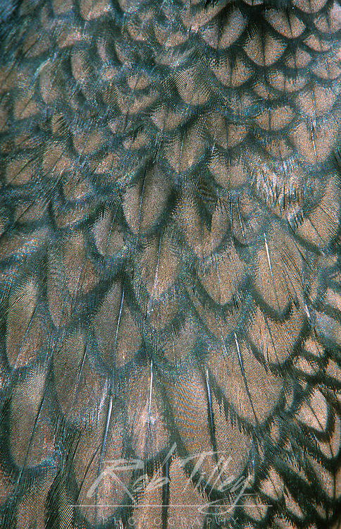 Double-Crested Cormorant Feather Detail (Phalacrocorax auritas), Everglades NP, FL, USA