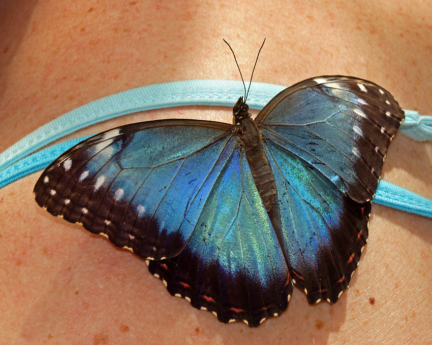 Many Morpho butterflies are colored in metallic, shimmering shades of blue and green. These colors are not a result of pigmentation but are an example of iridescence..