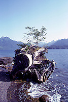 Haida Gwaii (Queen Charlotte Islands), Northern BC, British Columbia, Canada - Nursing Tree - Young Tree growing on Tree Stump, Rennel Sound, Graham Island