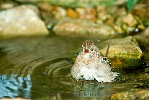 Fluffy Field sparrow, Spizella Passerina , bathing in garden pool