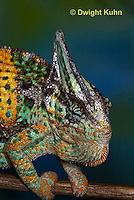 CH51-662z  Male Veiled Chameleon in display color,  Chamaeleo calyptratus