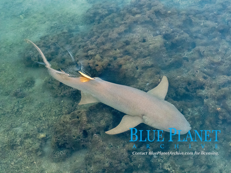 tawny nurse shark, Nebrius ferrugineus, swimming in the shallow waters of Moorea, French Polynesia, South Pacific Ocean