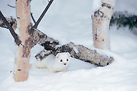 Ermine or short-tailed weasel (Mustela erminea).  Minnesota, Winter.