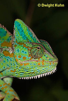 CH51-593z Female Veiled Chameleon in display color, Chamaeleo calyptratus