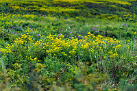 Coastal meadow with blooming Goldenrod, Fort Hill, Eastham, Massachusetts, USA.