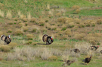Wild Turkeys (Meleagris gallopavo)--two males strutting while others in the flock search for food.  John Day River Canyon, OR.  April.