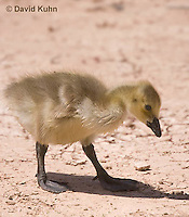 0224-1207  Canadian Gosling Foraging for Food (Canada Goose, Canadian Goose), Branta canadensis  © David Kuhn/Dwight Kuhn Photography