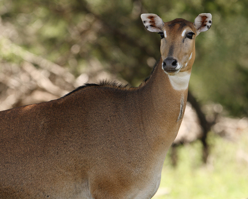 Nilgai, also known as Blue Bull, is one of the most commonly found wild animals of northern India as well as eastern Pakistan. Even though it is an antelope, it looks quite similar in appearance to an ox.