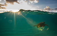 Green sea turtle swimming off of Waimea Bay on the North Shore of Oahu