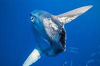 ocean sunfish, Mola mola, Azores, Portugal, Atlantic Ocean