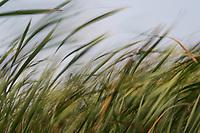 A bit of breeze waves tall cattail grass along a neighborhood park's pond on a summer afternoon.