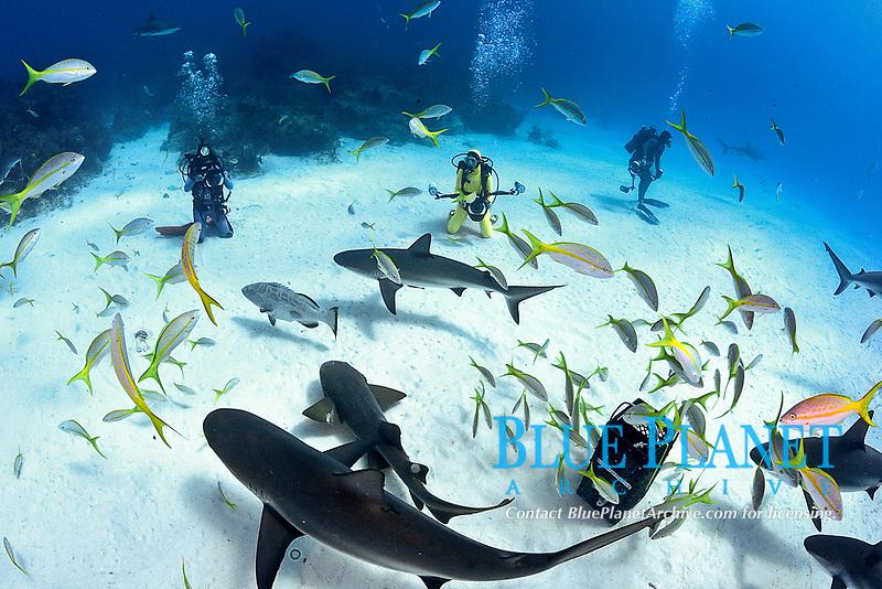 Caribbean Reef Sharks, Carcharhinus pereziii, with scuba divers and chum basket, Bahamas, Caribbean, Atlantic