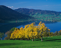 Pear trees with fall colors and lake of Aegeri, Oberaegeri, Switzerland, Europe