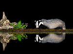 Pictured:  A badger reflected in the pool.<br /> <br /> Animals reflect perfectly off water in the British countryside as they enjoy a late-night drink.  A red squirrel, a badger, and a rare albino hedgehog produced mirror images when they sipped the water in darkness.<br /> <br /> HR worker Dan Knight, patiently waited in a hide from 5.30pm to 3am to capture the photographs taken at a shallow reflection pool in Dumfries and Galloway, Scotland.  SEE OUR COPY FOR DETAILS.<br /> <br /> Please byline: Dan Knight/Solent News<br /> <br /> © Dan Knight/Solent News & Photo Agency<br /> UK +44 (0) 2380 458800