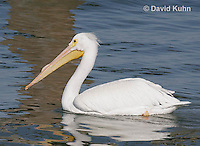 0727-0802  American White Pelican, Pelecanus erythrorhynchos © David Kuhn/Dwight Kuhn Photography.