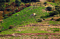 Collioure. Roussillon. A tool shed hut in the vineyard. France. Europe. Vineyard.