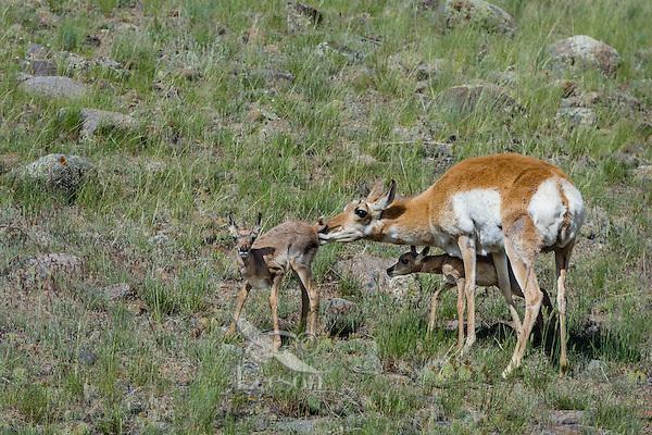 Pronghorn Antelope (Antiloapra americana) doe with twin fawns.  Western U.S., June.