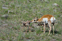 Pronghorn Antelope (Antiloapra americana) doe with twin fawns.  Western U.S., June.