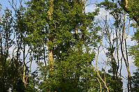 GERMANY, Ruegen, forest / DEUTSCHLAND, Mecklenburg-Vorpommern, Jasmund, kranke Eschen, Eschentriebsterben, Eschenwelke, verursacht durch den Pilz Falsches Weisses Stengelbecherchen (Hymenoscyphus pseudoalbidus)