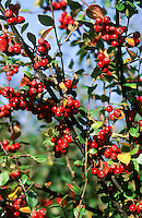 Diels Zwergmispel, Zwerg-Mispel, Früchte, Cotoneaster dielsianus