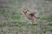 Lesser Prairie Chicken, Canadian, Texas