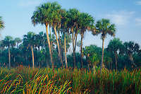 Cattails and sable palms<br /> Big Cypress Swamp<br /> Fakahatchee Strand State Reserve<br /> Collier County,  Florida