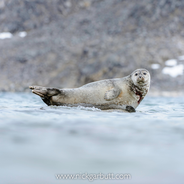 Adult harbour seal (Phoca vitulina) hauled out / resting on rock in shallow water. Woodfjorden, northern Spitsbergen, Svalbard, Arctic Norway.