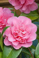 Camellia x williamsii Debbie, pink flowered