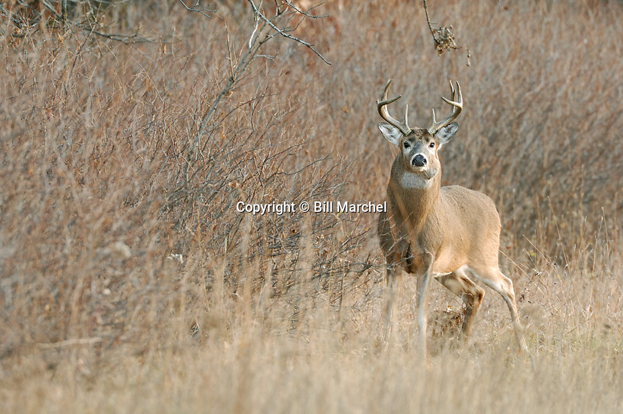 00274-305.03 White-tailed Deer Buck (DIGITAL) buck has a goiter like growth on its neck and it stands in meadow during fall.  Hunt.  H3F1