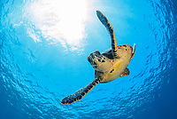 hawksbill sea turtle, Eretmochelys imbricata, critically endangered species, Gan, Maradhoo, Addu Atoll, Maldives, Laccadive Sea or Lakshadweep Sea, Indian Ocean