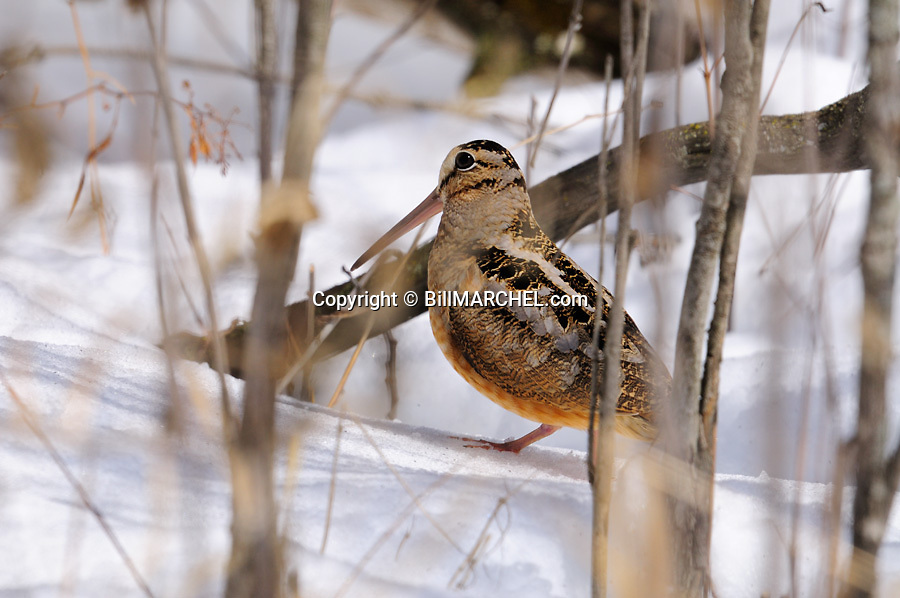 01262-017.19 American Woodcock is on deep snow after freak snow storm.  Hunt, survive, cold, winter.