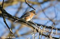 "0105-1004  Eastern Bluebird ""Female"", Silialia Sialis  © David Kuhn/Dwight Kuhn Photography"