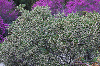 Arctostaphylos densiflora, white flowering manzanita shrub in California native plant garden with Redbud tree