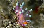 Coryphellina exoptata, a flabellina nudibranch pink and white with orange rhinophore