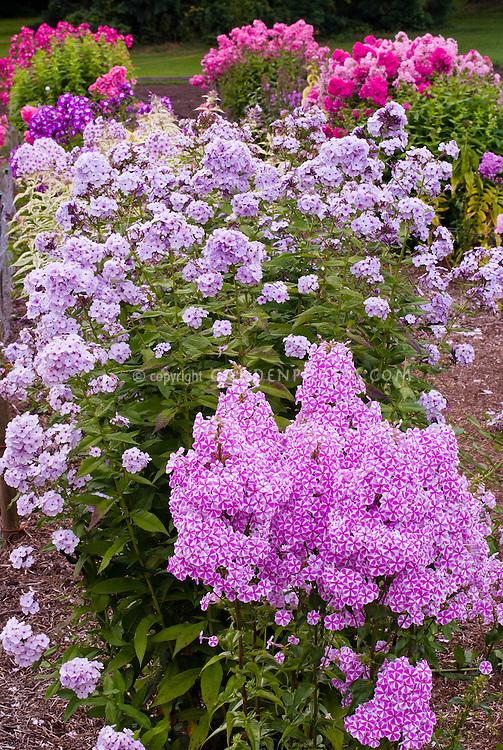 Phlox maculata 'Natascha' (42) (front), Phlox paniculata 'Miss Willmott' (41) mix of garden phlox, fragrant perennials, tall and short types, pink, white, blue, lavender colors