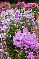 Phlox maculata 'Natascha' (42) (front), Phlox paniculata 'Miss Willmott' (41) mix of garden phlox, fragrant perennials, tall and short types, pink, white, blue, lavender colors
