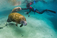 Florida Manatee, Trichechus manatus latirostris, A subspecies of the West Indian Manatee. A snorkeler interacts with a manatee mother and her young calf at the Three Sisters Springs. Crystal River, Florida. No MR