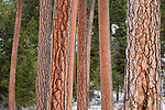 Ponderosa Pine tree trunks in a forest in Montana