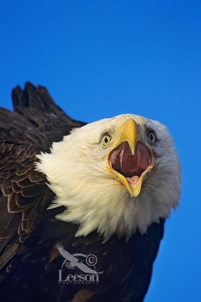 Bald eagle screaming (Haliaeetus leucocephalus)