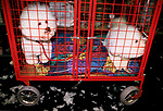 Crufts Dog Show Bichon Frises pet dogs waiting to go home, tired out  National Exhibition Centre Birmingham 1990s 1991 UK