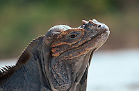 endemischer Nashornleguan am Lago Enriquillo, Dominikanische Republik