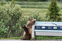 Grizzly Bear rubbing/scratching its back on sign display in Banff National Park, Alberta Canada.  June.